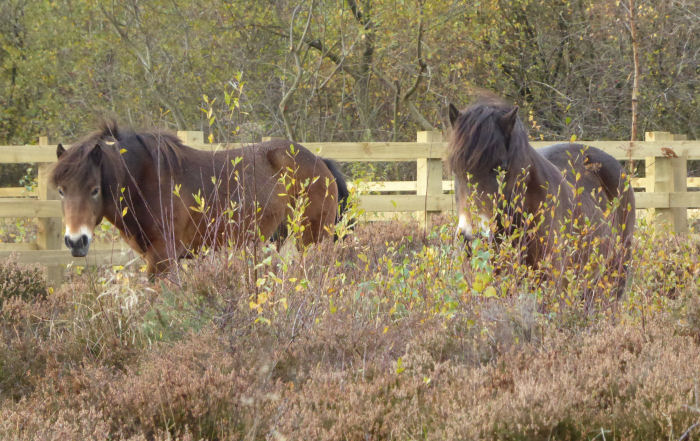 Ponies on the Heath