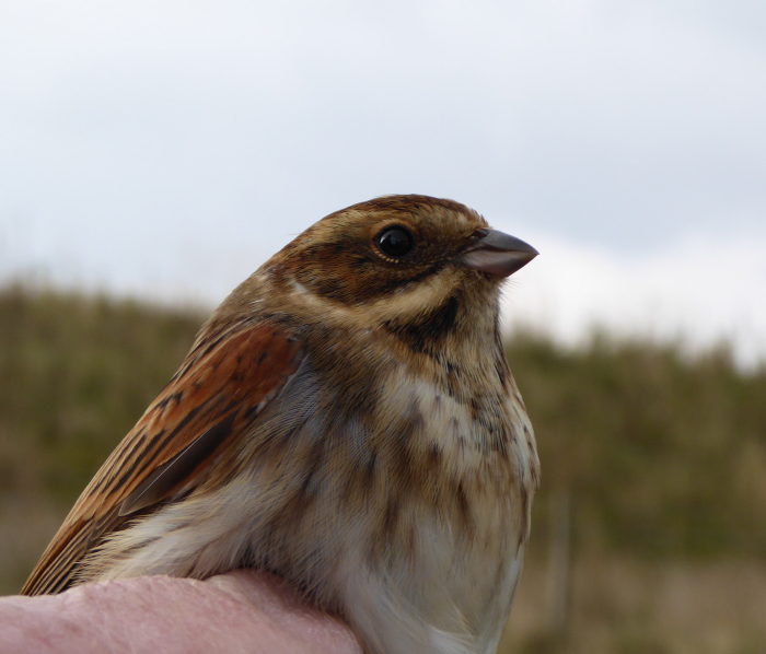 A juvenile male Reed Bunting