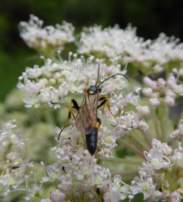 Insect on Angelica