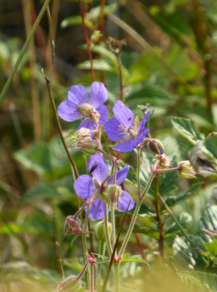 Possible Wood Cranesbill