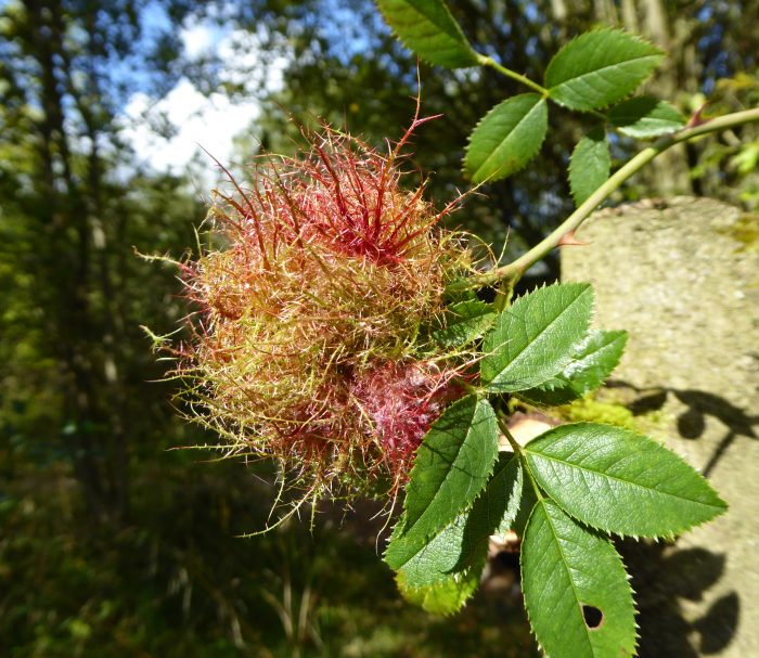 A large Robin's Pincushion Gall