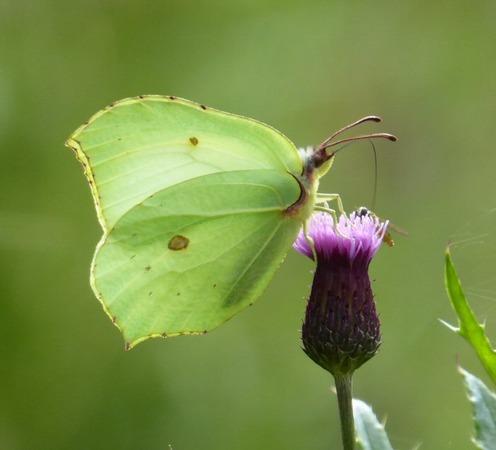 Brimstone Butterfly feeding