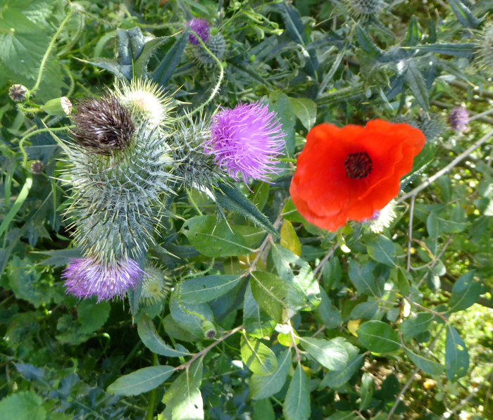 Spear Thistle and Red Poppy