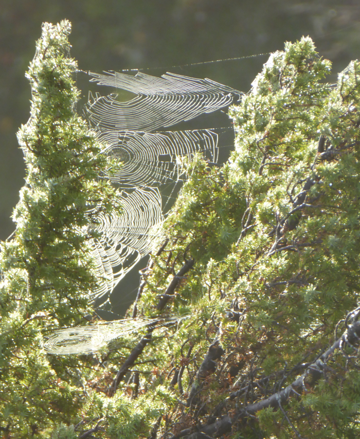 webs on Juniper