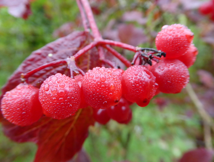 Guelder Rose berries