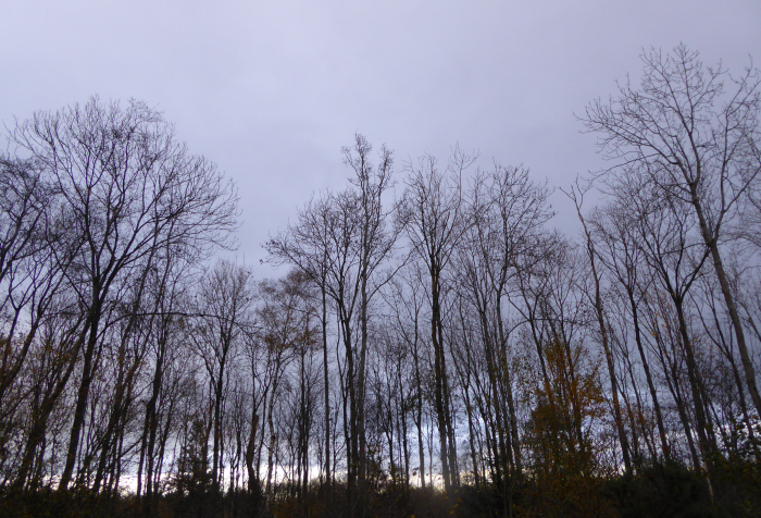 Leafless Ash trees