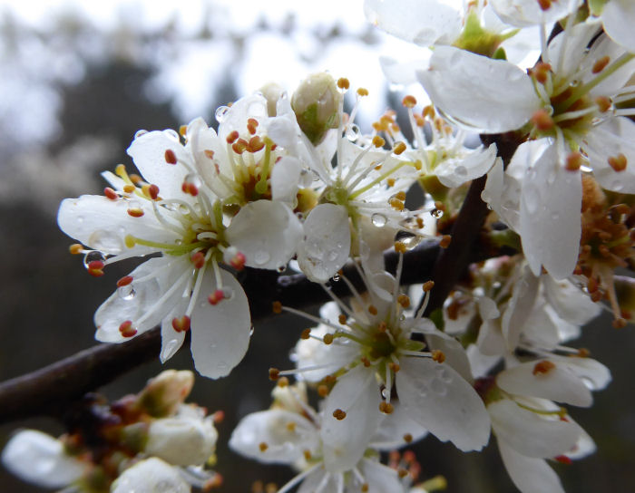 Water droplets on Blackthorn