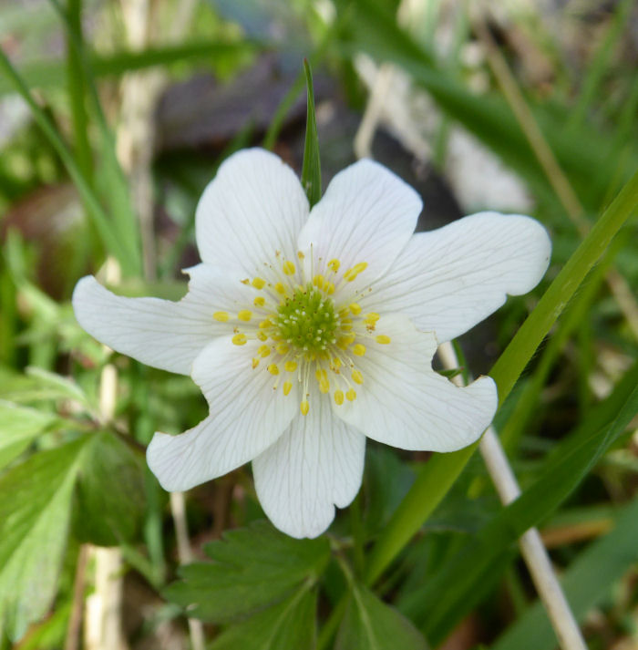 Wood Anemone open by midday