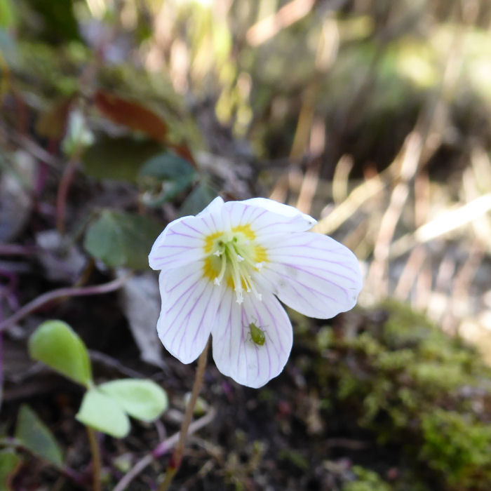 Wood Sorrel and greenfly