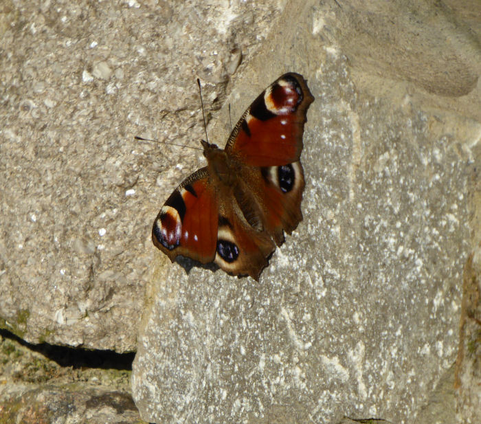 Peacock butterfly on teh dry stone wall