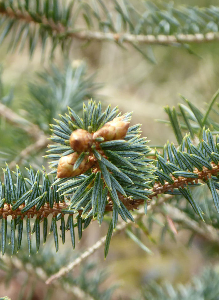 New buds on a conifer