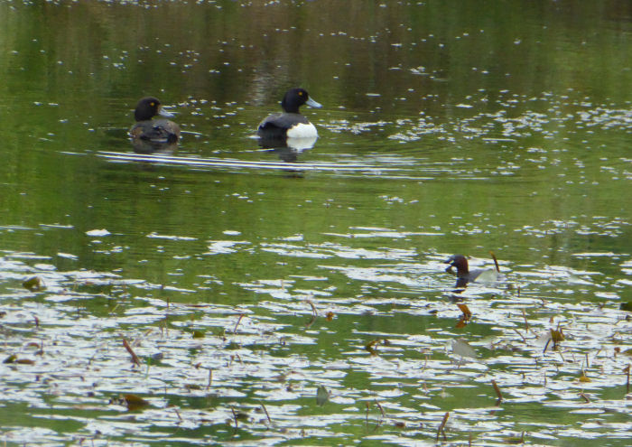 Tufted Duck with Little Grebe