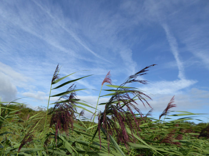 Reeds and blue sky