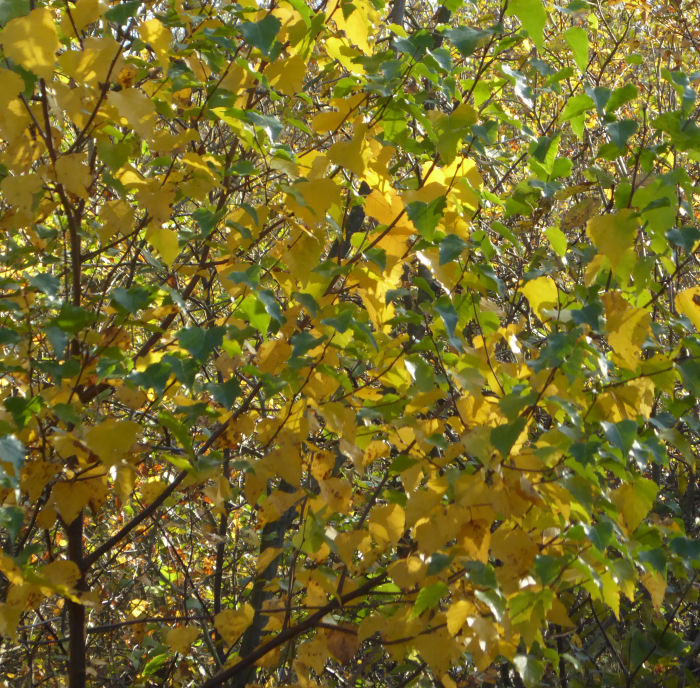 Yellow/gold Silver Birch leaves