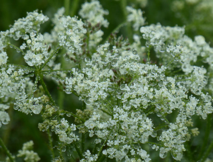 Pignut flowers laden with water