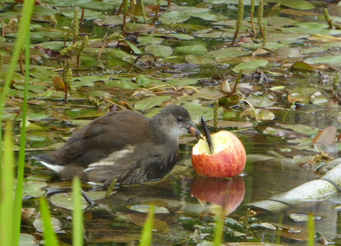 Moorhen feeding on apple