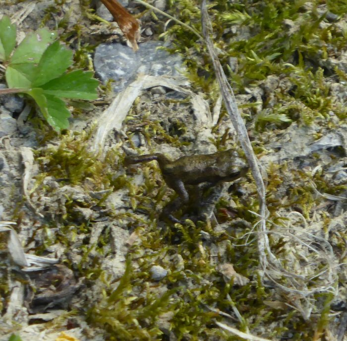 Tiny Common Frog