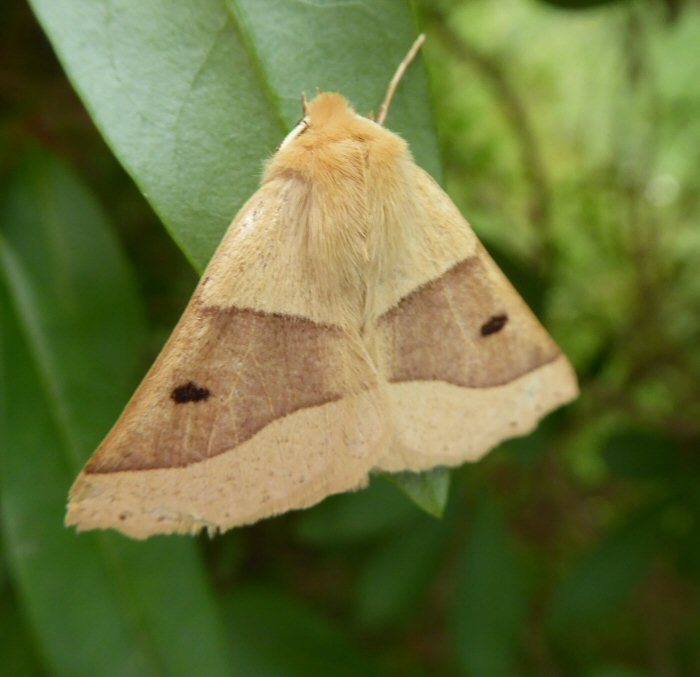 Scalloped Oak Moth
