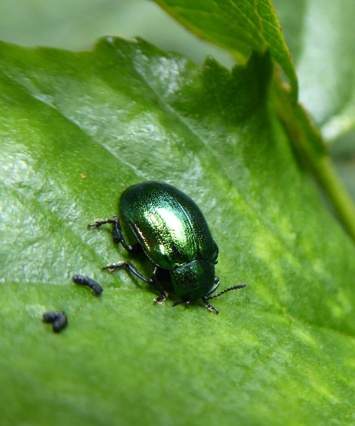Adult Green Leaf Beetle