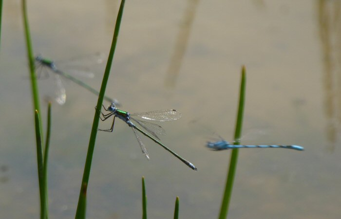 Dancing Damselflies