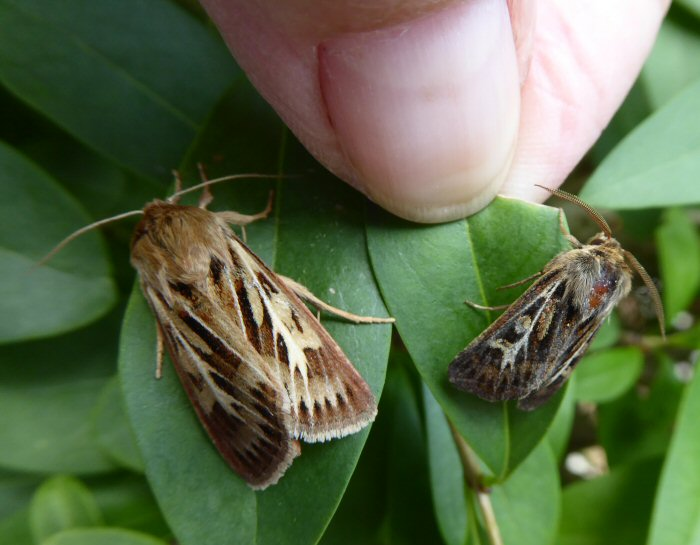 Female and male Antler moths