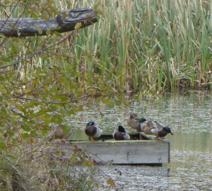 Mallards on the duck raft.
