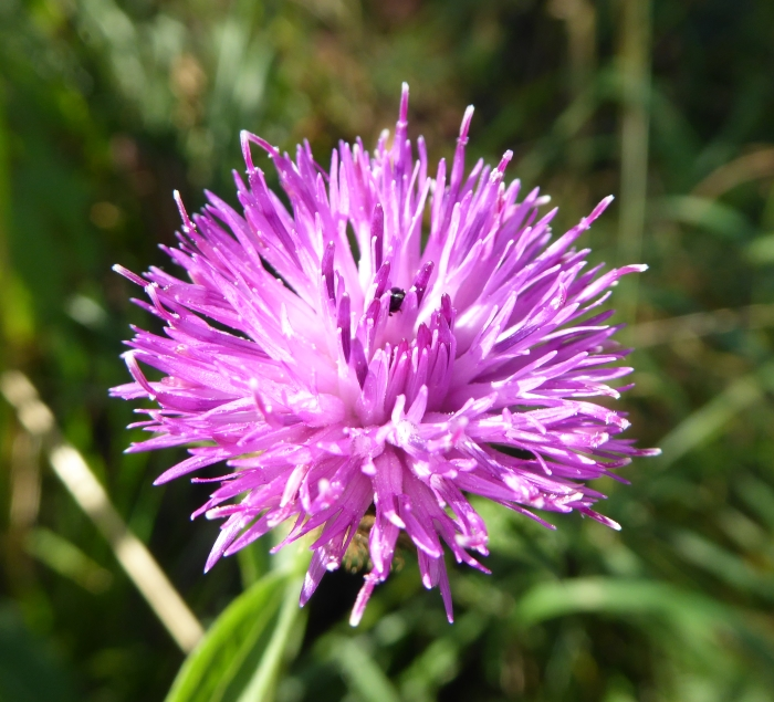 Black Knapweed