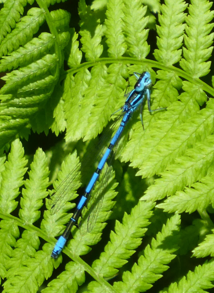 Damselfly looking around