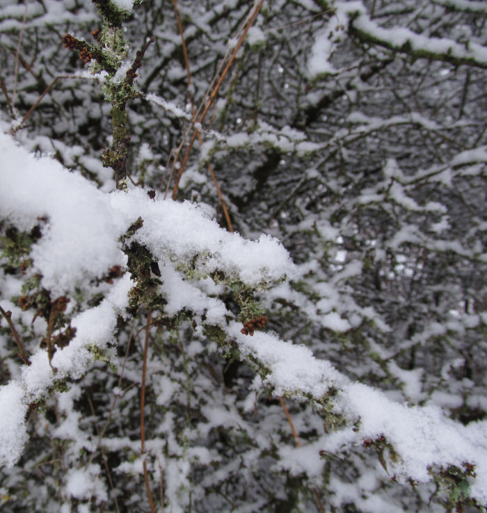 Blackthorn flower buds under the snow
