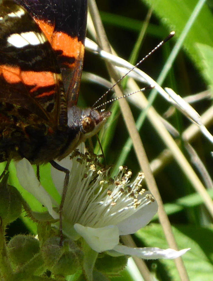 Red Admiral feeding on Blackberry