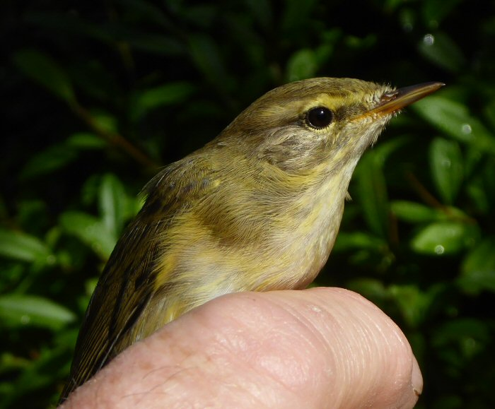 Willow Warbler Ringed in Spain