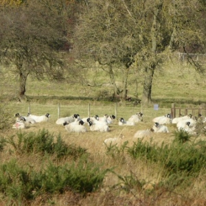 Sheep graze the moor after the flower meadow has been cut