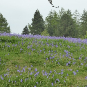 Bluebells around the Stone Circle