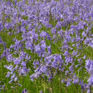 Bluebells, indicators of ancient woodland
