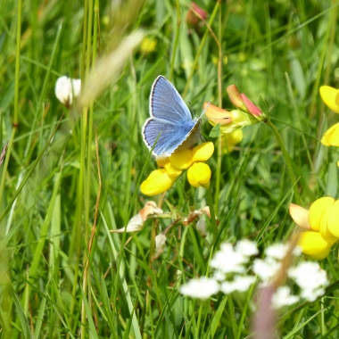 Common Blue on the moor