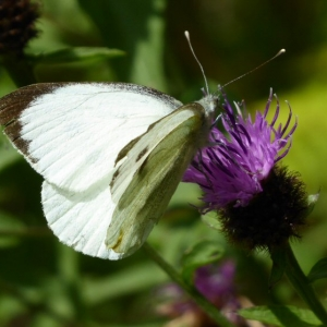 Large White butterfly on Knapweed