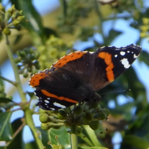 Red Admiral on Ivy flowers