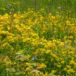 Bird's-foot Trefoil, loved by the Common Blue Butterfly